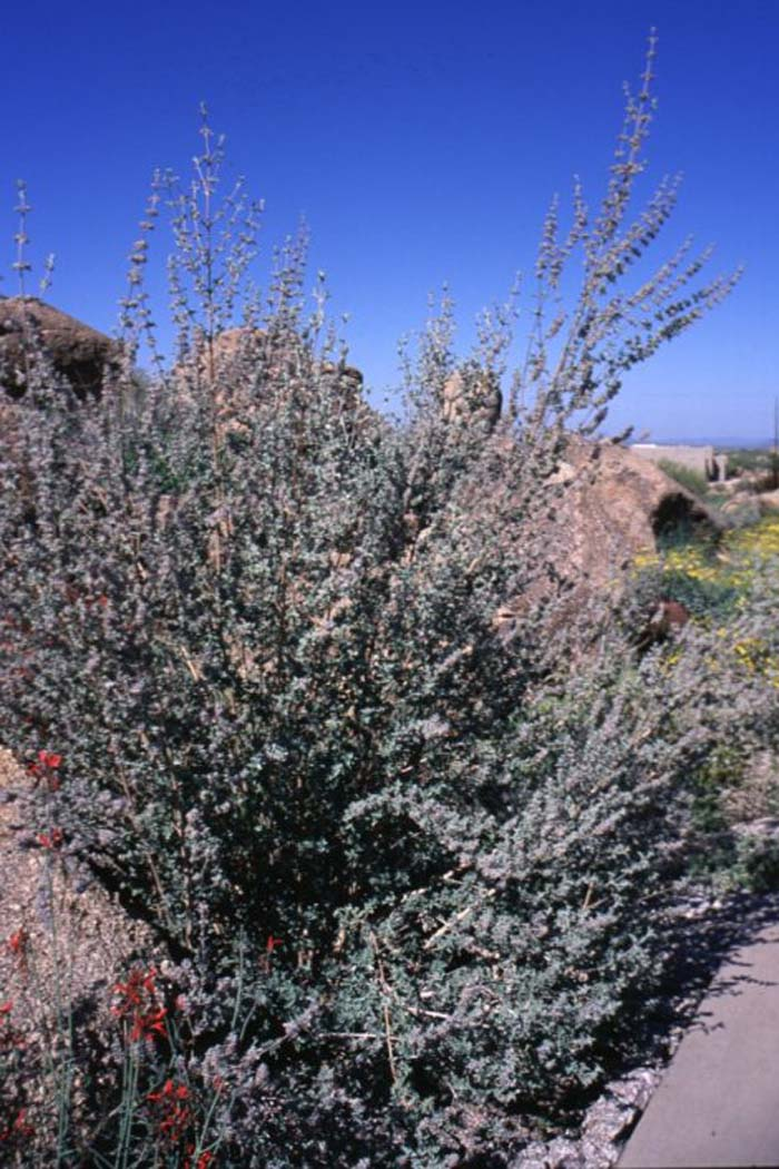 Plant photo of: Hyptis emoryi