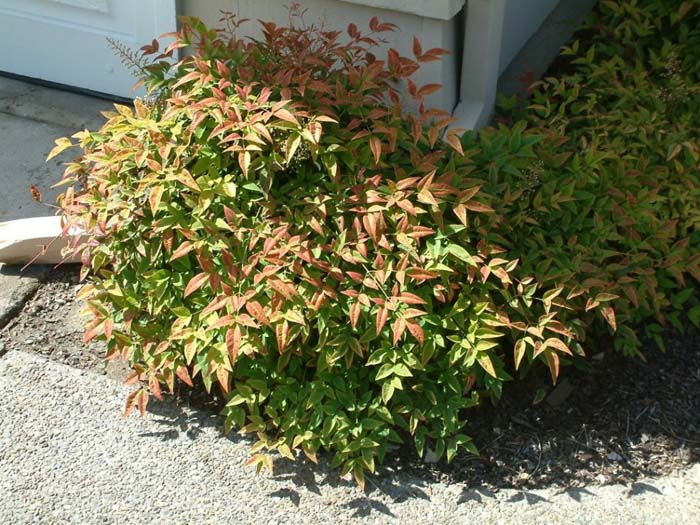 Plant photo of: Nandina domestica 'Harbour Dwarf'