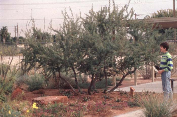 Plant photo of: Acacia greggii