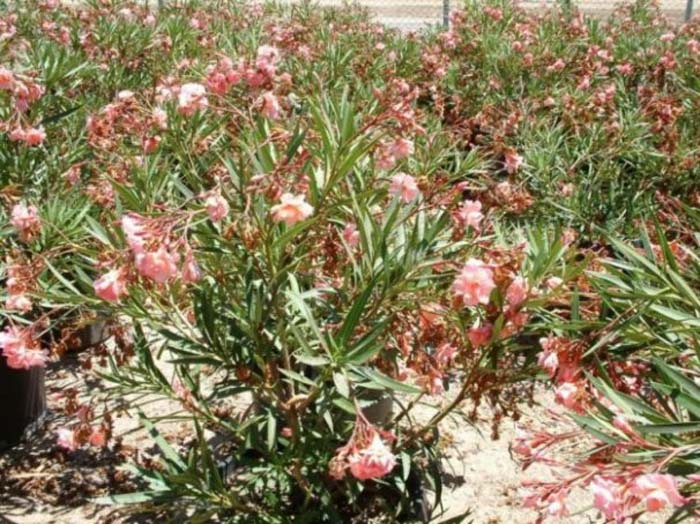 Plant photo of: Nerium oleander 'Mrs. Roeding'