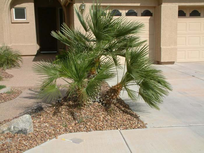 Plant photo of: Chamaerops humilis