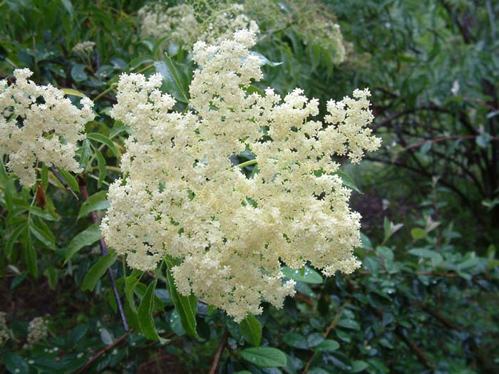 Plant photo of: Sambucus mexicana