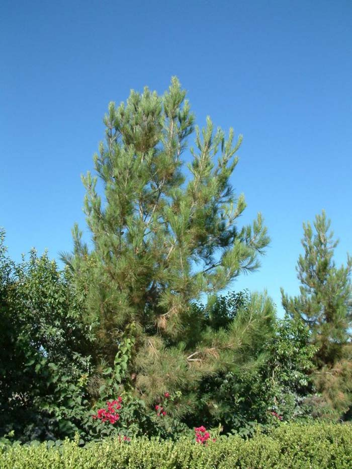 Plant photo of: Pinus eldarica