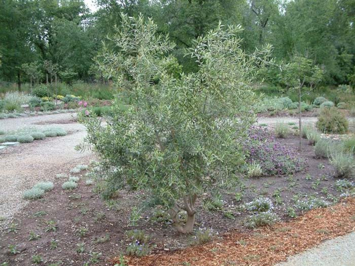Plant photo of: Olea europaea 'Swan Hill'