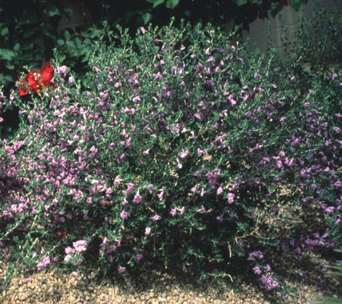 Plant photo of: Leucophyllum langmaniae