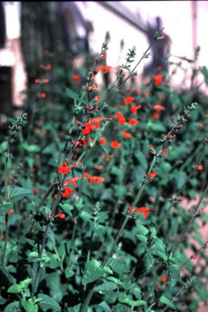 Plant photo of: Salvia coccinea 'Lady in Red'