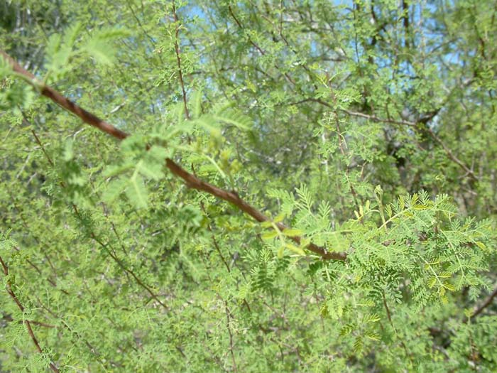 Plant photo of: Acacia constricta