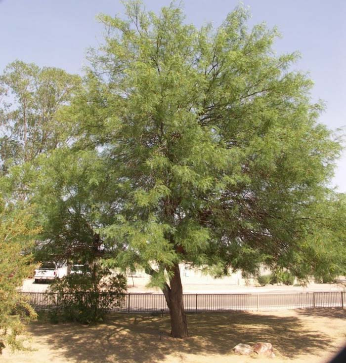 Plant photo of: Prosopis alba