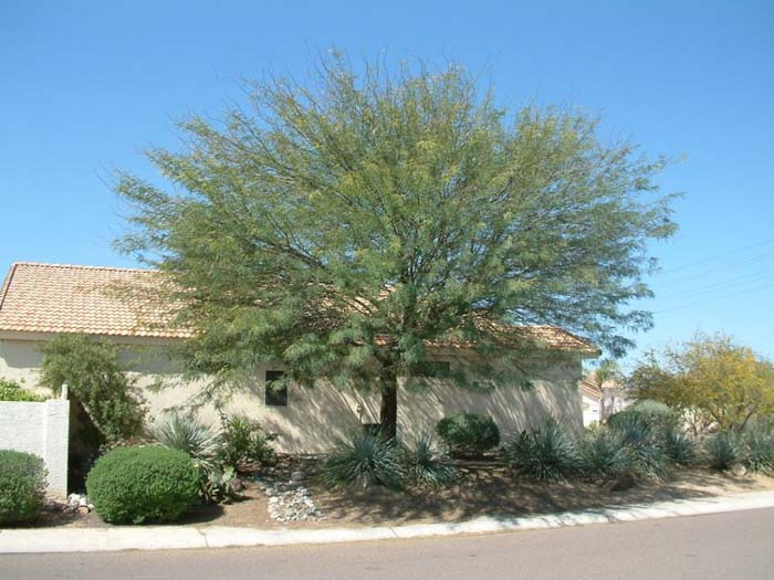 Plant photo of: Prosopis chilensis