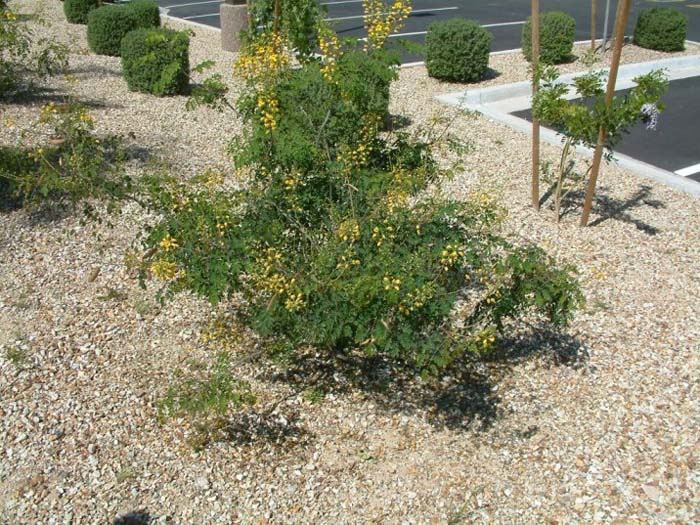 Plant photo of: Caesalpinia mexicana