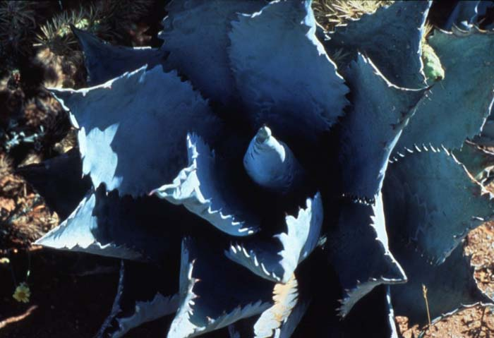 Plant photo of: Agave colorata