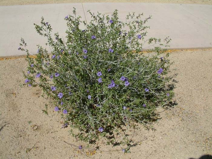 Plant photo of: Ruellia peninsularis