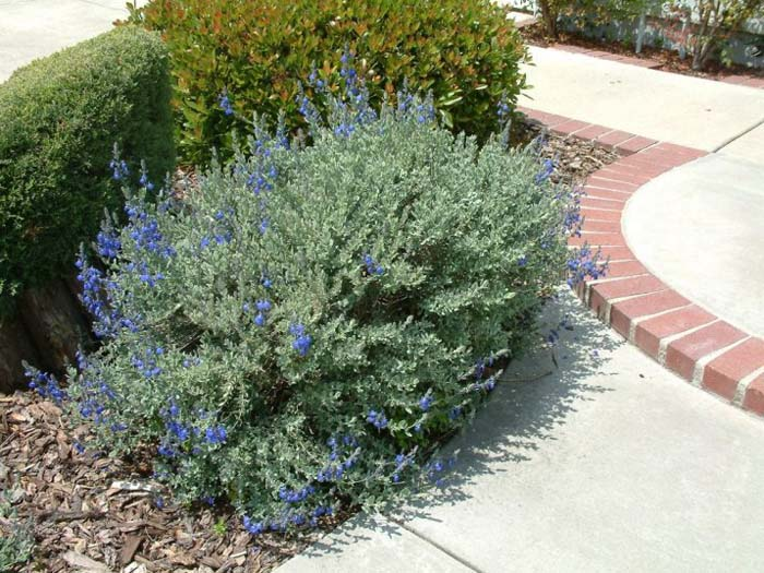 Plant photo of: Salvia chamaedryoides