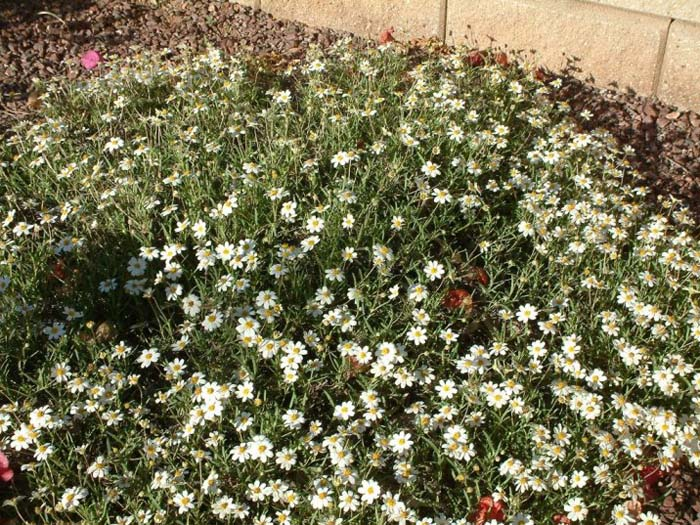 Plant photo of: Melampodium leucanthum