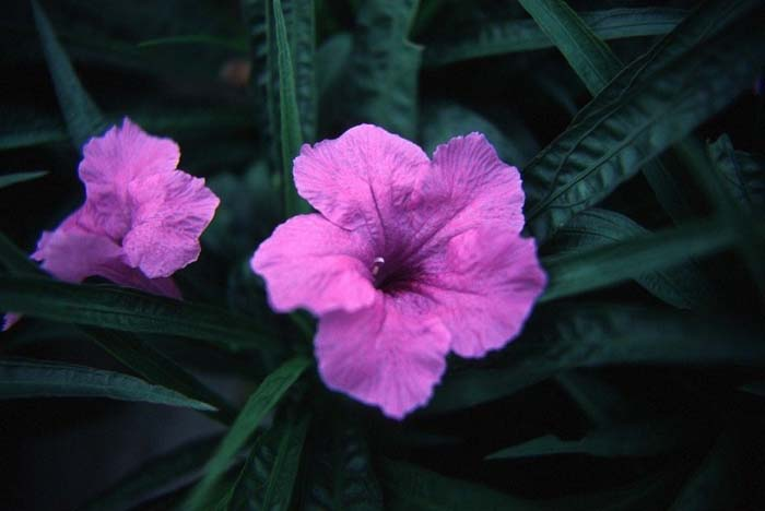 Plant photo of: Ruellia brittoniana 'Katie'