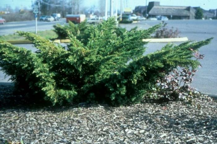 Plant photo of: Juniperus chinensis 'Pfitzeriana'
