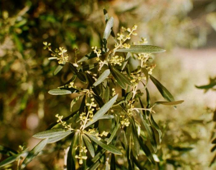 Plant photo of: Olea europaea 'Majestic Beauty'