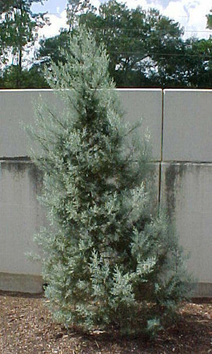 Plant photo of: Cupressus arizonica 'Blue Ice'