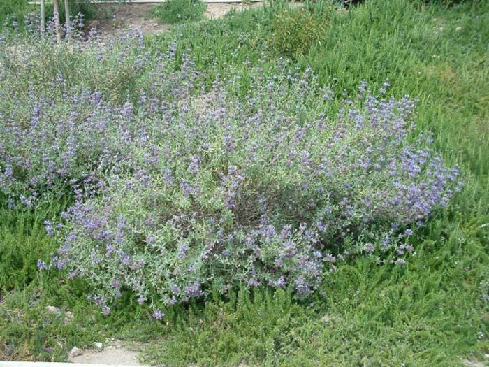 Plant photo of: Salvia clevelandii