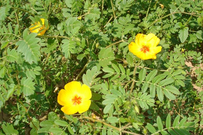 Plant photo of: Kallstroemia grandiflora