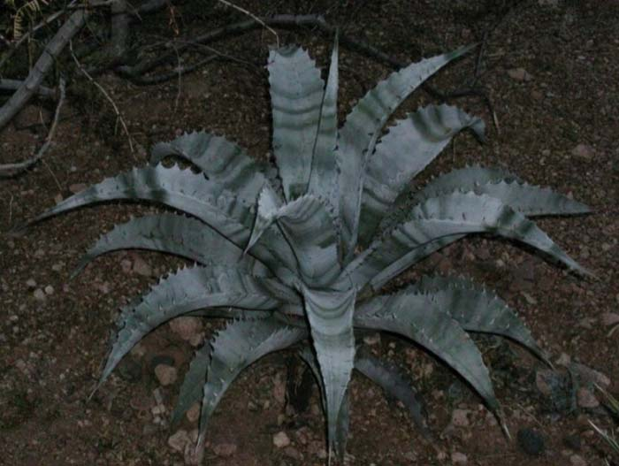 Plant photo of: Agave chrysantha