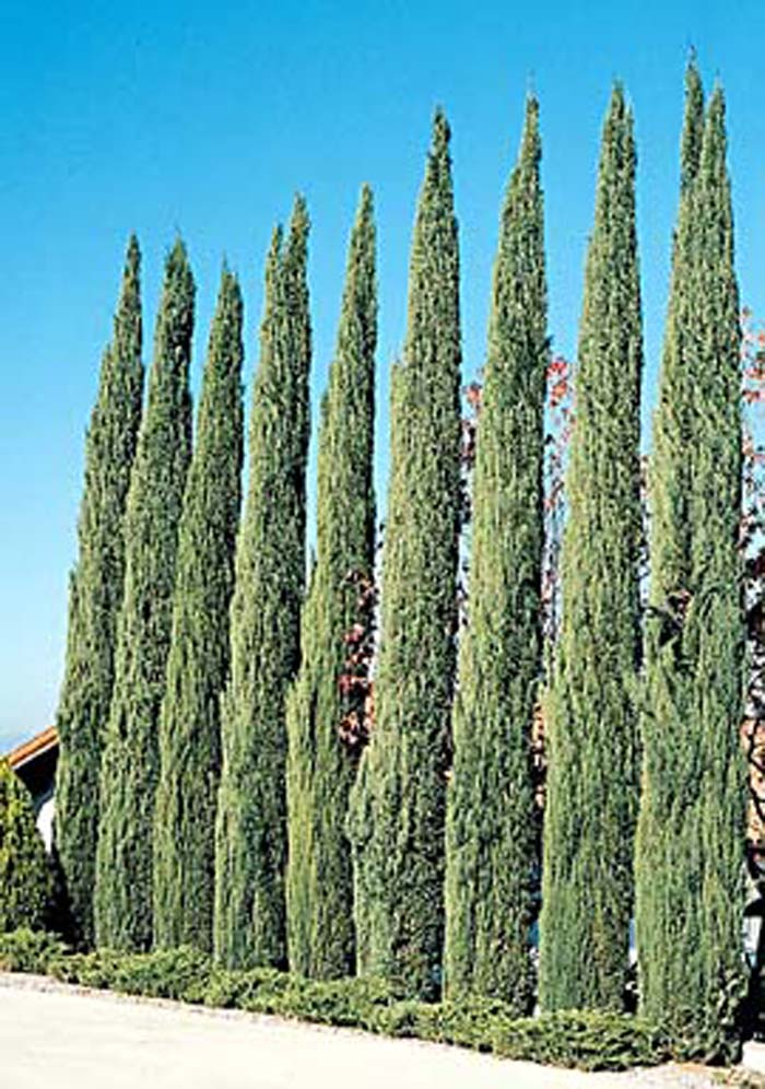 Plant photo of: Cupressus sempervirens