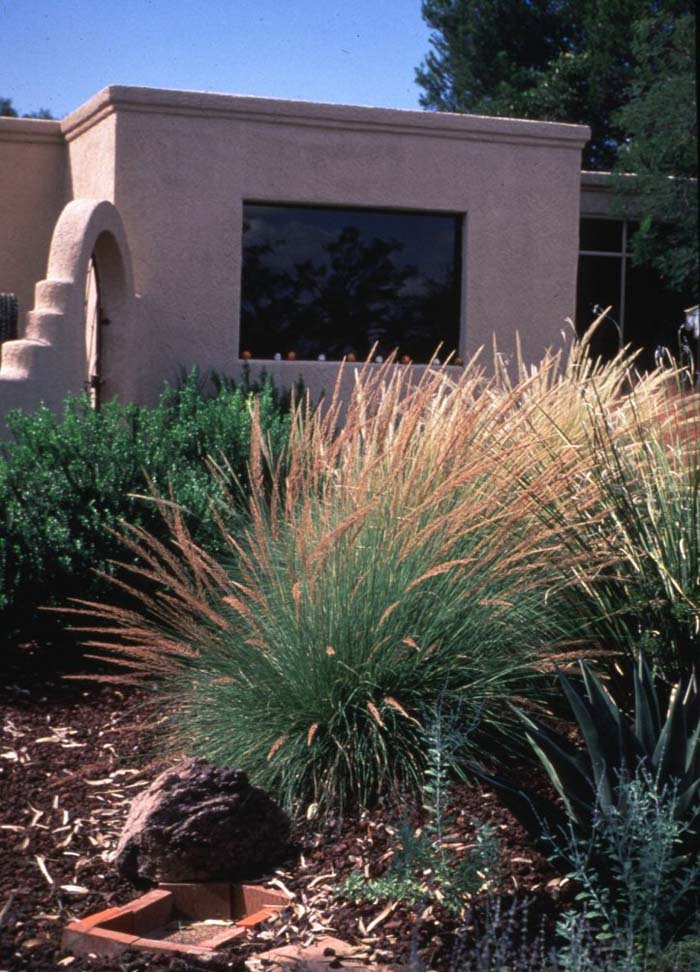 Plant photo of: Muhlenbergia lindheimeri 'Autumn Glow'