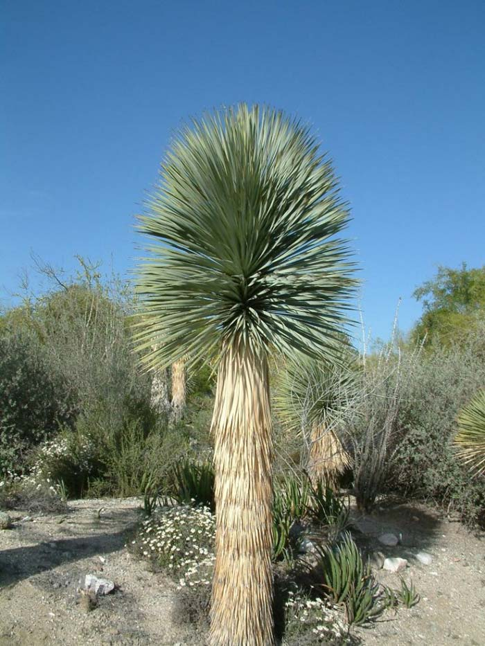 Plant photo of: Yucca rostrata