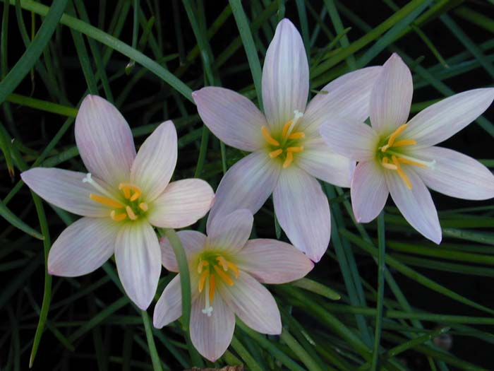 Plant photo of: Zephyranthes x 'Prairie Sunset'