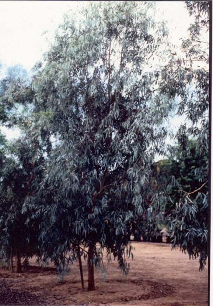 Plant photo of: Eucalyptus microtheca 'Blue Ghost'