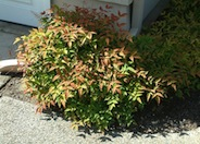 Heavenly Bamboo harbour Dwarf