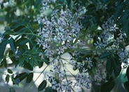 Chinaberry, Paradise Tree