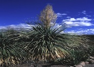 Sonoran tree bear grass