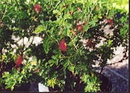 Calliandra 'Maricopa Red'
