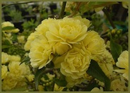 Yellow Lady Banks'  Rose