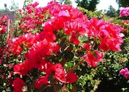 San Diego Red Bougainvillea